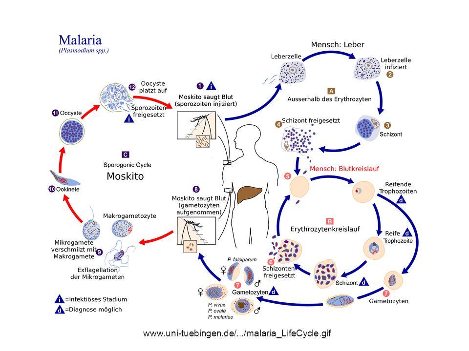 www.uni-tuebingen.de/.../malaria_LifeCycle.gif