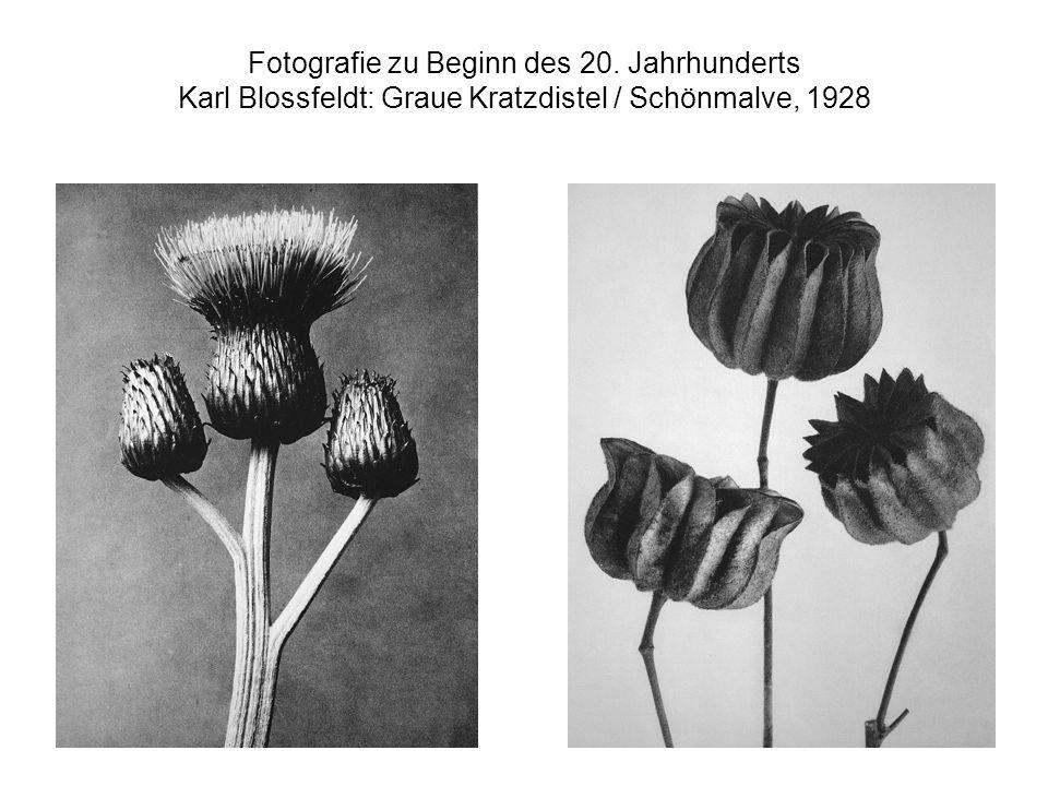Fotografie zu Beginn des 20. Jahrhunderts Karl Blossfeldt: Graue Kratzdistel / Schönmalve, 1928