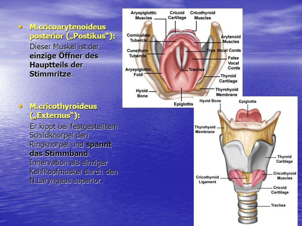 M.cricoarytenoideus posterior (Postikus): M.cricoarytenoideus posterior (Postikus): Dieser Muskel ist der einzige Öffner des Hauptteils der Stimmritze