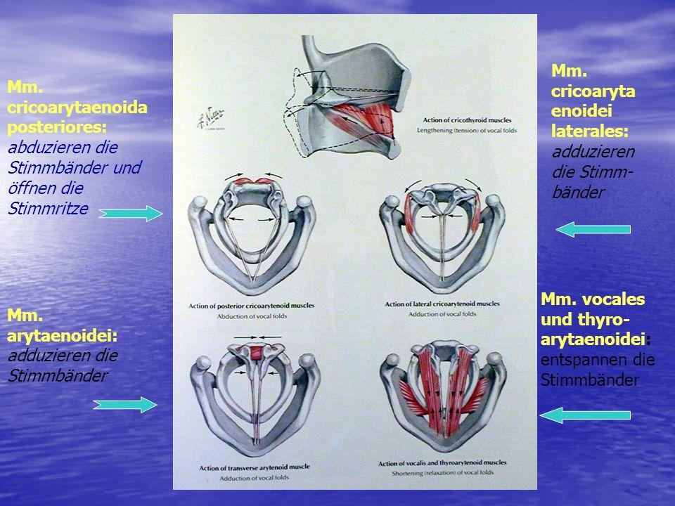 Mm. cricoarytaenoida posteriores: abduzieren die Stimmbänder und öffnen die Stimmritze Mm. arytaenoidei: adduzieren die Stimmbänder Mm. cricoaryta eno