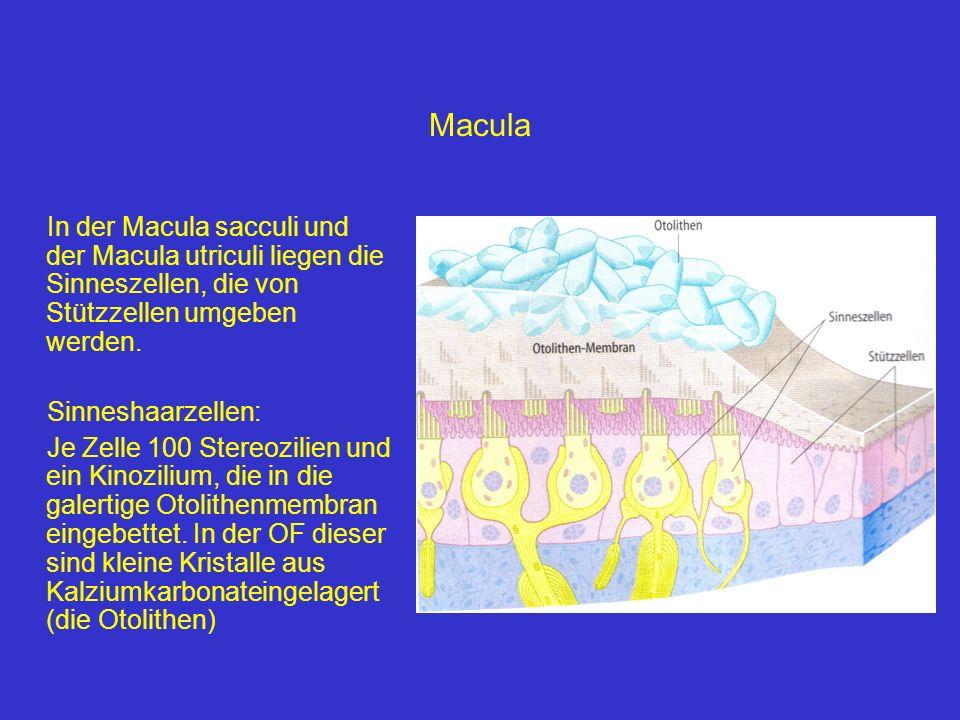 Macula In der Macula sacculi und der Macula utriculi liegen die Sinneszellen, die von Stützzellen umgeben werden. Sinneshaarzellen: Je Zelle 100 Stere