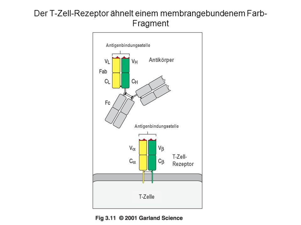 Der T-Zell-Rezeptor ähnelt einem membrangebundenem Farb- Fragment Antigenbindungsstelle Antikörper Antigenbindungsstelle T-Zell- Rezeptor T-Zelle