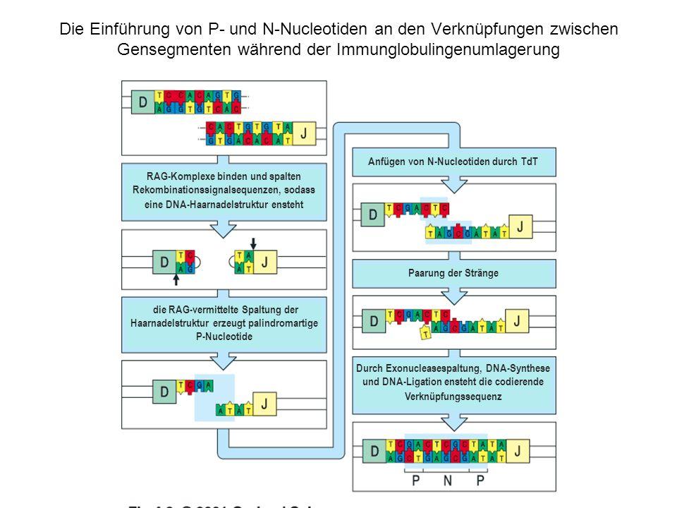 Die Einführung von P- und N-Nucleotiden an den Verknüpfungen zwischen Gensegmenten während der Immunglobulingenumlagerung RAG-Komplexe binden und spal