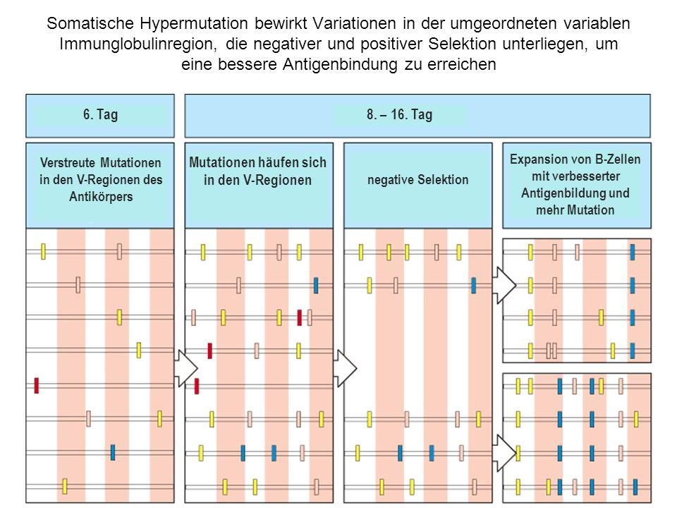 Somatische Hypermutation bewirkt Variationen in der umgeordneten variablen Immunglobulinregion, die negativer und positiver Selektion unterliegen, um