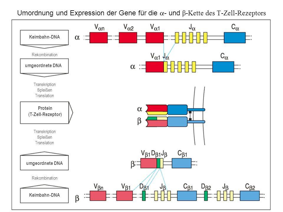 Umordnung und Expression der Gene für die - und β-Kette des T-Zell-Rezeptors Keimbahn-DNA umgeordnete DNA Protein (T-Zell-Rezeptor) umgeordnete DNA Ke