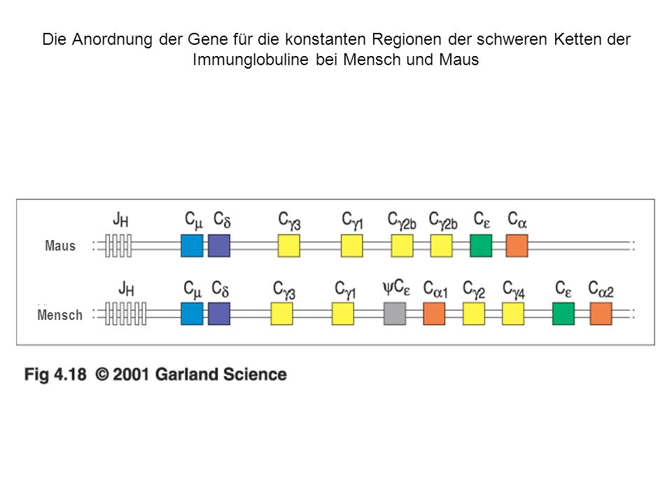 Die Anordnung der Gene für die konstanten Regionen der schweren Ketten der Immunglobuline bei Mensch und Maus Mensch Maus