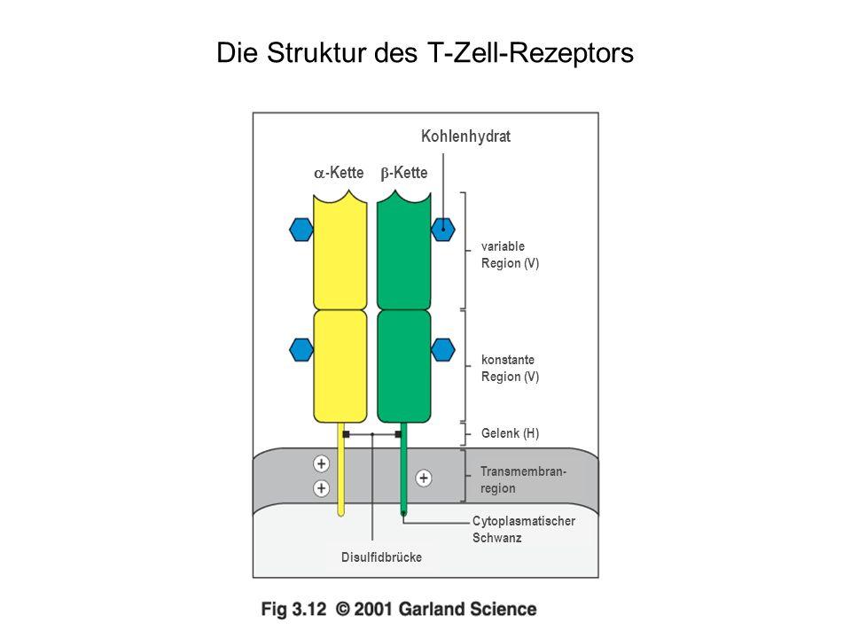 Der T-Zell-Rezeptor-Komplex besteht aus Proteinen, die das Antigen erkennen, und unveränderlichen Proteinen, die Signale aussenden Erkennung Signalgebung