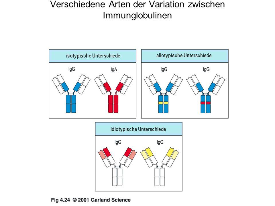 Verschiedene Arten der Variation zwischen Immunglobulinen isotypische Unterschiede allotypische Unterschiede idiotypische Unterschiede