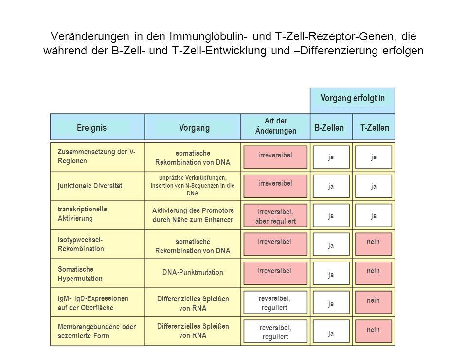Veränderungen in den Immunglobulin- und T-Zell-Rezeptor-Genen, die während der B-Zell- und T-Zell-Entwicklung und –Differenzierung erfolgen Vorgang er