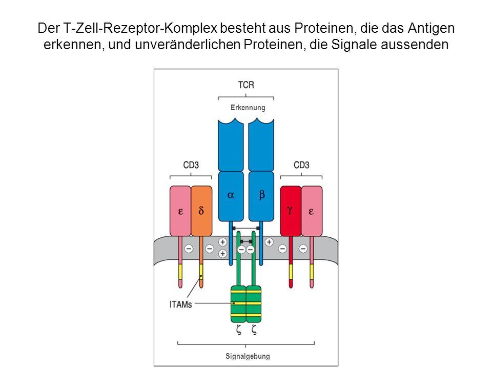 Veränderungen in den Immunglobulin- und T-Zell-Rezeptor-Genen, die während der B-Zell- und T-Zell-Entwicklung und –Differenzierung erfolgen Vorgang erfolgt in EreignisVorgang Art der Änderungen T-ZellenB-Zellen Zusammensetzung der V- Regionen junktionale Diversität transkriptionelle Aktivierung Isotypwechsel- Rekombination Somatische Hypermutation IgM-, IgD-Expressionen auf der Oberfläche Membrangebundene oder sezernierte Form somatische Rekombination von DNA unpräzise Verknüpfungen, Insertion von N-Sequenzen in die DNA Aktivierung des Promotors durch Nähe zum Enhancer somatische Rekombination von DNA DNA-Punktmutation Differenzielles Spleißen von RNA irreversibel irreversibel, aber reguliert irreversibel nein ja nein reversibel, reguliert