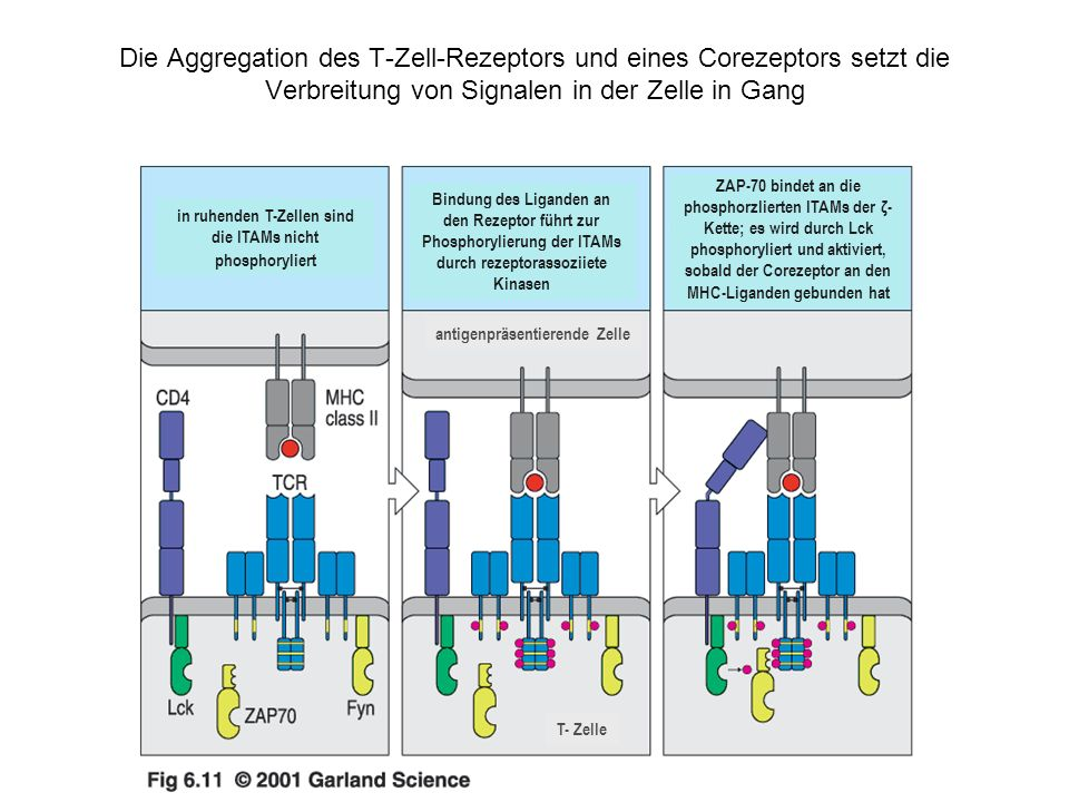 Die Aggregation des T-Zell-Rezeptors und eines Corezeptors setzt die Verbreitung von Signalen in der Zelle in Gang in ruhenden T-Zellen sind die ITAMs