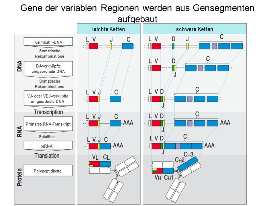 Gene der variablen Regionen werden aus Gensegmenten aufgebaut leichte Kettenschwere Ketten Keimbahn-DNA DJ-verknüpfte umgeordnete DNA VJ- oder VDJ-ver