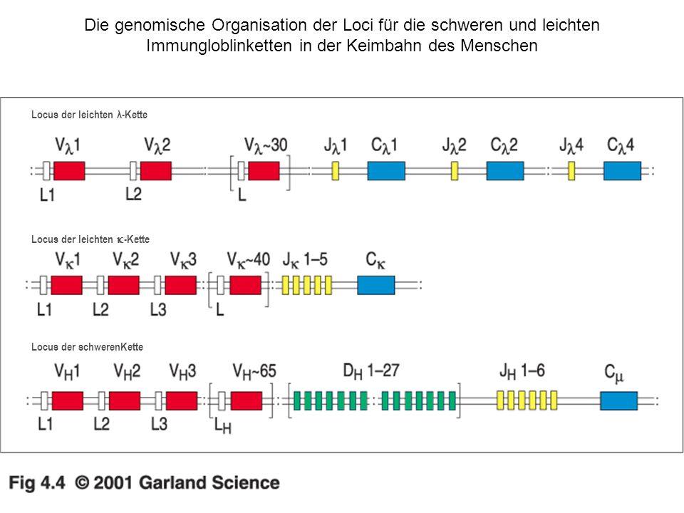 Die genomische Organisation der Loci für die schweren und leichten Immungloblinketten in der Keimbahn des Menschen Locus der leichten λ-Kette Locus de