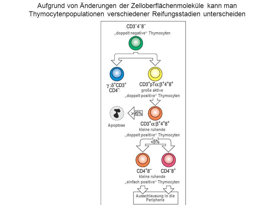 Aufgrund von Änderungen der Zelloberflächenmoleküle kann man Thymocytenpopulationen verschiedener Reifungsstadien unterscheiden doppelt negative Thymo
