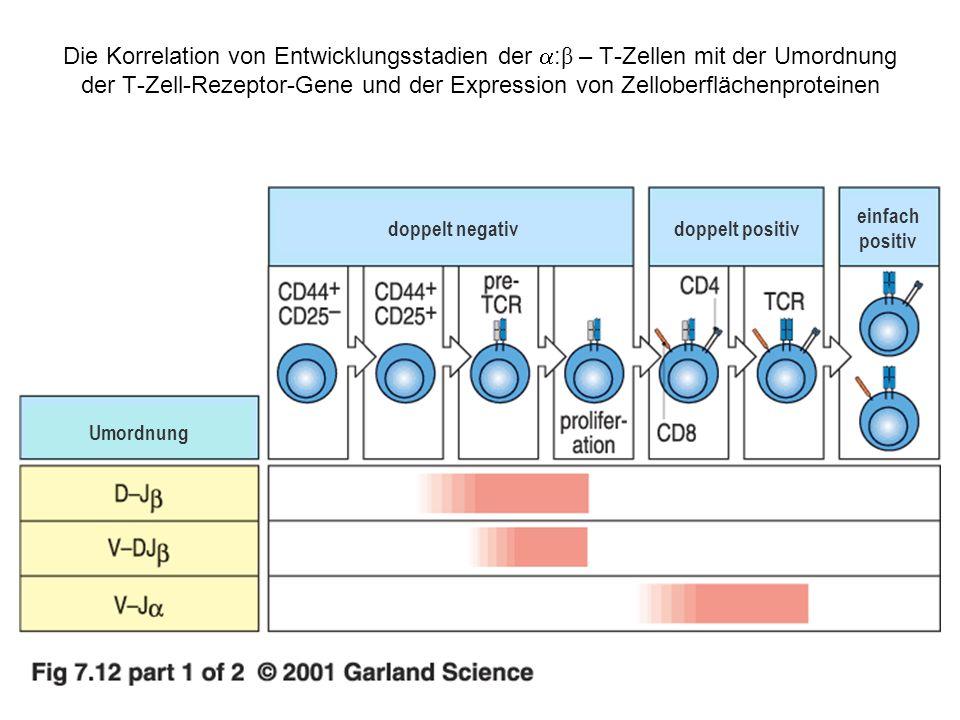 Die Korrelation von Entwicklungsstadien der : β – T-Zellen mit der Umordnung der T-Zell-Rezeptor-Gene und der Expression von Zelloberflächenproteinen