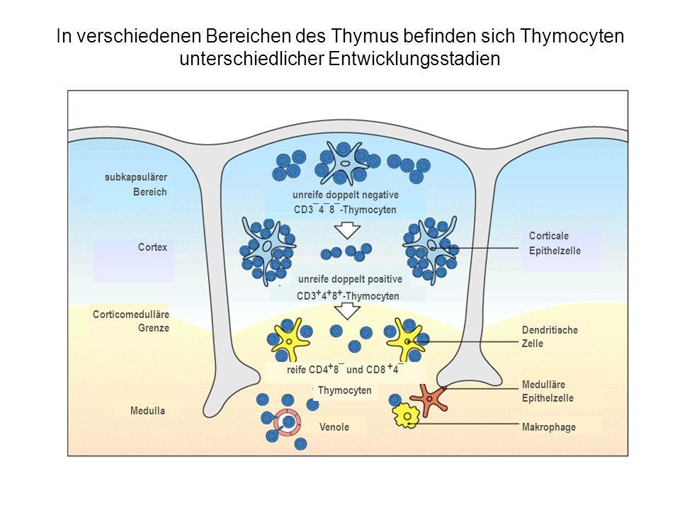 In verschiedenen Bereichen des Thymus befinden sich Thymocyten unterschiedlicher Entwicklungsstadien subkapsulärer Bereich Corticale Epithelzelle unre