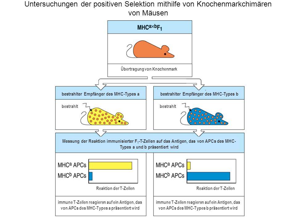 Untersuchungen der positiven Selektion mithilfe von Knochenmarkchimären von Mäusen immune T-Zellen reagieren auf ein Antigen, das von APCs des MHC-Typ
