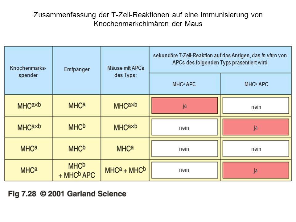 Zusammenfassung der T-Zell-Reaktionen auf eine Immunisierung von Knochenmarkchimären der Maus Knochenmarks- spender Emfpänger Mäuse mit APCs des Typs: