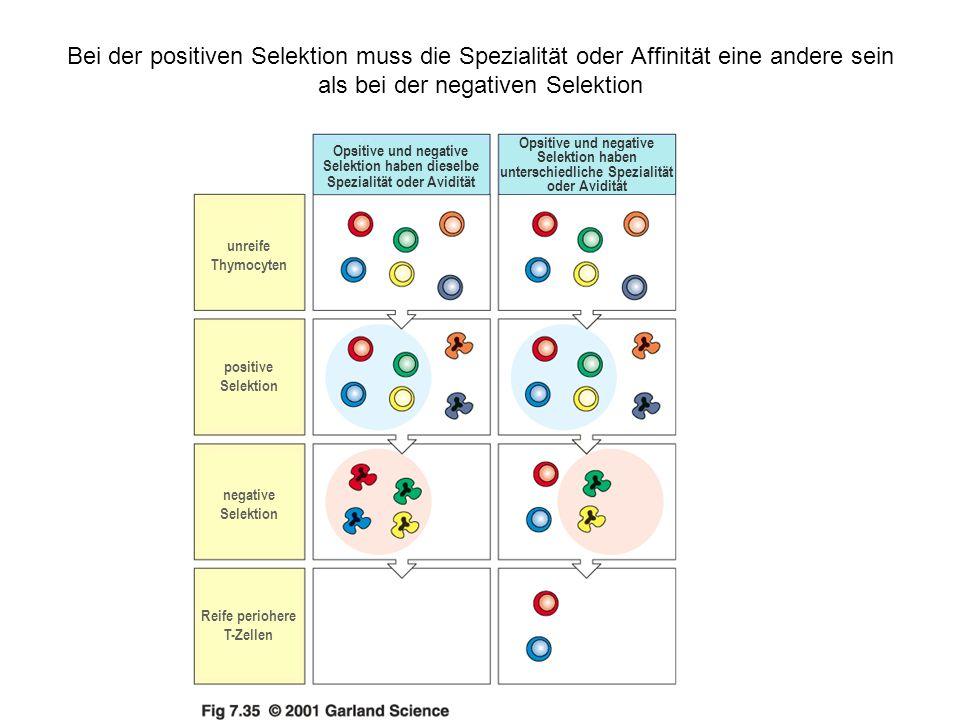 Bei der positiven Selektion muss die Spezialität oder Affinität eine andere sein als bei der negativen Selektion Opsitive und negative Selektion haben