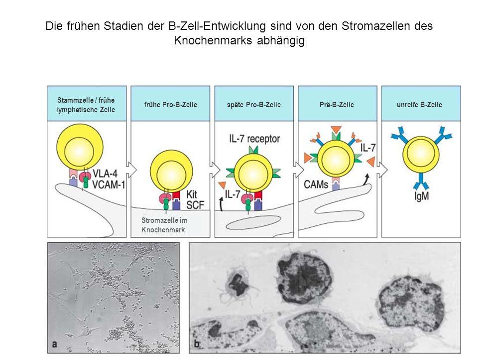 Die Entwicklung einer Zelle der B-Zell-Line durchläuft mehrere Stadien, die durch Umordnung und Expression der Immunglobulingene charakterisiert sind Stammzelle frühe Pro-B-Zellespäte Pro-B-Zelle große Prä-B-Zelle Keimbahn nicht vorhanden D-J-UmordnungV-DJ-UmordnungVDJ umgeordnet μ-Kette vorübergehend auf der Oberfläche als Teil eines Prä-B-Zell- Rezeptors; hauptsächlich in der Zelle Gene für die schwere Kette Gene für die leichte Kette Ober- flächen-Ig