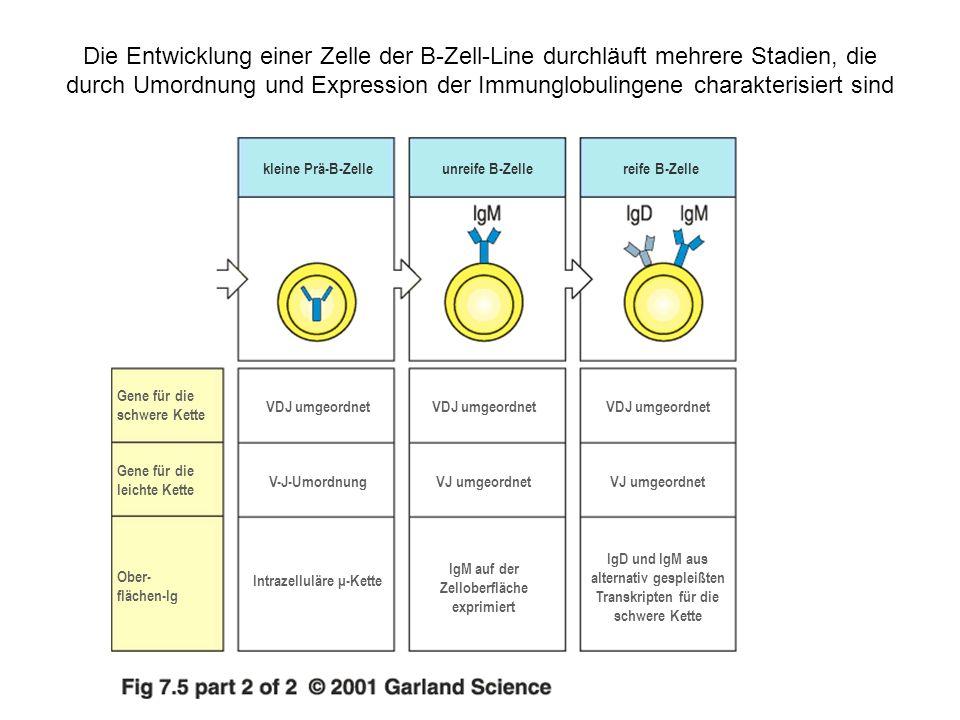 Die Korrelation von Stadien der B-Zell-Entwicklung mit der Umordnung der Immunglobulingensegmente und der Expression von Zelloberflächenproteinen Stamm- zelle frühe Pro- B-Zelle späte Pro- B-Zelle große B- Zelle kleine B- Zelle unreife B- Zelle Umordnung