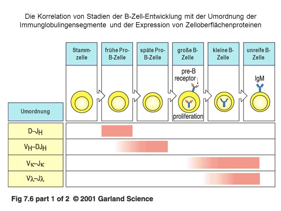 Eine Zusammenfassung der Entwicklung menschlicher : β- T-Zellen T-Zellen Umordnungen des β -Ketten- Gens intra- zelluläre Proteine Marken- protein auf der Oberfläche Umordnungen des -Ketten- Gens Stamm- zelle Keimbahn CD34.