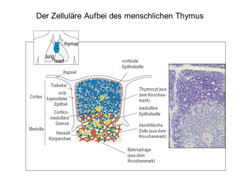 Die Epithelzellen des Thymuscortex führen eine positive Selektion herbei normale Expression von MHC-Klasse-II-Molekülen Mutante ohne MHC-Klasse-II- Molekülen Mutante, deren MHC-Klasse- II-Transgen nur im Thymusepithel exprimiert wird Mutante, in der ein MHC- Klasse-II-Transgen exprimiert wird, das nicht mit CD4 interagieren kann CD8- und CD4-Zellen reifen heran nur CD8-Zellen reifen heran CD8- und CD4-Zellen reifen heran nur CD8-Zellen reifen heran
