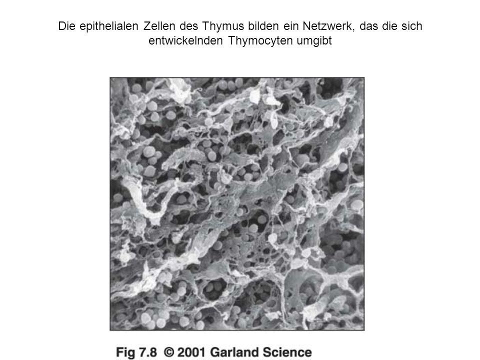 Der Thymus ist von entscheidender Bedeutung für das Heranreifen von T-Zellen aus Zellen, die aus dem Knochenmark stammen Analyse von Milzzellen LymphocytendefektThymusdefekt Rudimentärer Thymus normale Zelle besiedeln den transplantierten Thymus transplantierte Zellen besiedeln den normalen Thymus Thymus- transplantat Stammzellen aus dem Knochenmark Nicht- T-Zellen Nicht- T-Zellen Zellzahl nach dem Trans- plantat nach dem Trans- plantat vor dem Trans- plantat