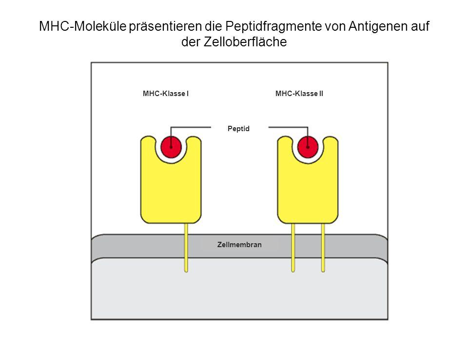 MHC-Moleküle präsentieren die Peptidfragmente von Antigenen auf der Zelloberfläche MHC-Klasse IMHC-Klasse II Peptid Zellmembran