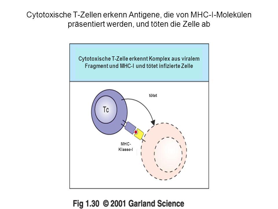 Cytotoxische T-Zellen erkenn Antigene, die von MHC-I-Molekülen präsentiert werden, und töten die Zelle ab Cytotoxische T-Zelle erkennt Komplex aus viralem Fragment und MHC-I und tötet infizierte Zelle tötet MHC- Klasse-I