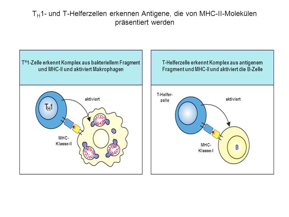 T H 1- und T-Helferzellen erkennen Antigene, die von MHC-II-Molekülen präsentiert werden T H 1-Zelle erkennt Komplex aus bakteriellem Fragment und MHC-II und aktiviert Makrophagen T-Helferzelle erkennt Komplex aus antigenem Fragment und MHC-II und aktiviert die B-Zelle MHC- Klasse-II MHC- Klasse-I T-Helfer- zelle aktiviert