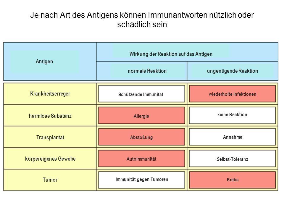 Je nach Art des Antigens können Immunantworten nützlich oder schädlich sein Antigen Wirkung der Reaktion auf das Antigen normale Reaktion ungenügende Reaktion Schützende Immunität keine Reaktion Annahme Selbst-Toleranz Immunität gegen Tumoren Allergie Abstoßung Autoimmunität wiederholte Infektionen Krebs Krankheitserreger harmlose Substanz körpereigenes Gewebe Tumor Transplantat