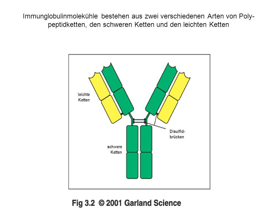 Immunglobulinmolekühle bestehen aus zwei verschiedenen Arten von Poly- peptidketten, den schweren Ketten und den leichten Ketten leichte Ketten schwere Ketten Disulfid- brücken