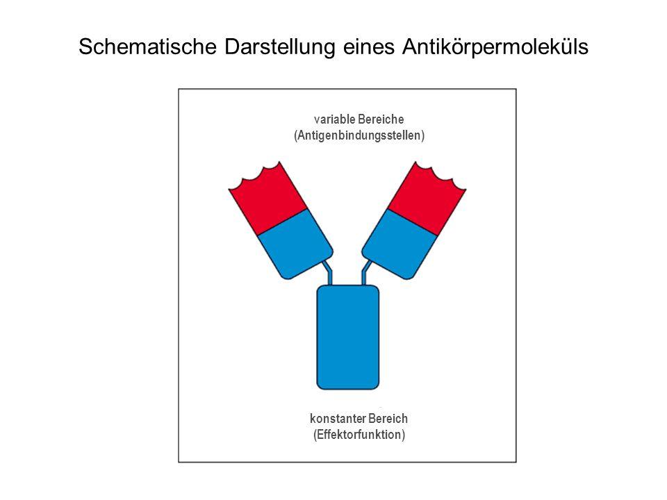 Schematische Darstellung eines Antikörpermoleküls variable Bereiche (Antigenbindungsstellen) konstanter Bereich (Effektorfunktion)