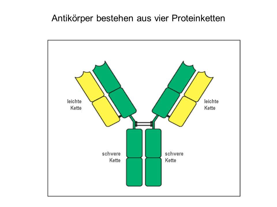 Antikörper bestehen aus vier Proteinketten leichte Kette schwere Kette