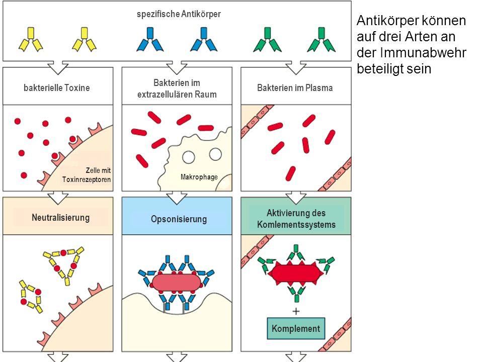 Antikörper können auf drei Arten an der Immunabwehr beteiligt sein spezifische Antikörper bakterielle Toxine Bakterien im extrazellulären Raum Bakterien im Plasma Makrophage Opsonisierung Aktivierung des Komlementssystems Komplement Neutralisierung Zelle mit Toxinrezeptoren