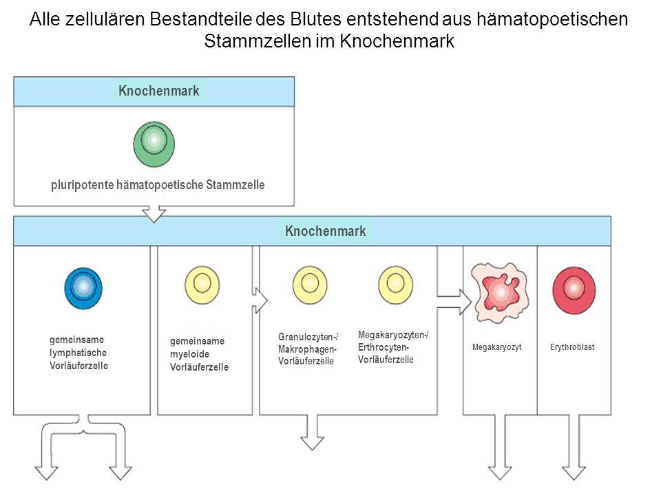 Alle zellulären Bestandteile des Blutes entstehend aus hämatopoetischen Stammzellen im Knochenmark Knochenmark pluripotente hämatopoetische Stammzelle