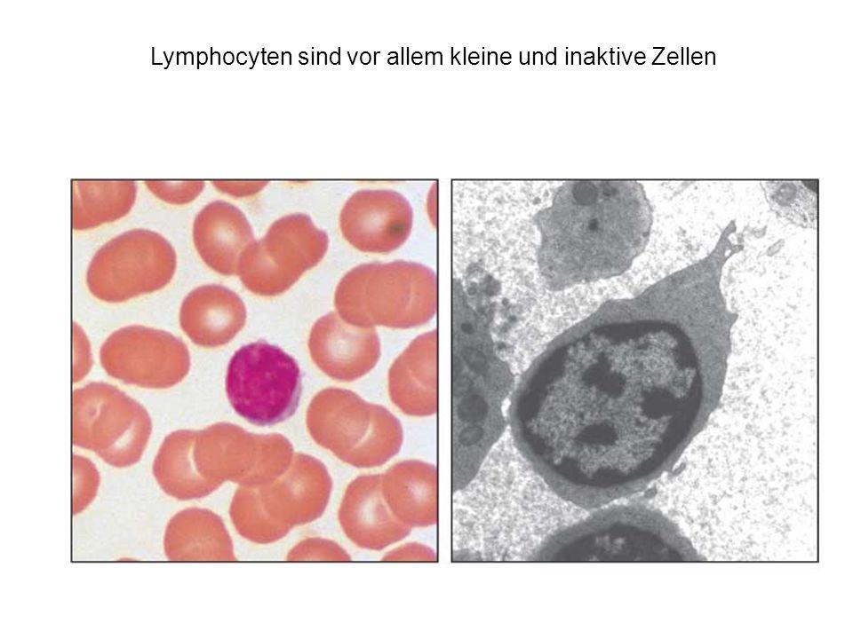 Lymphocyten sind vor allem kleine und inaktive Zellen