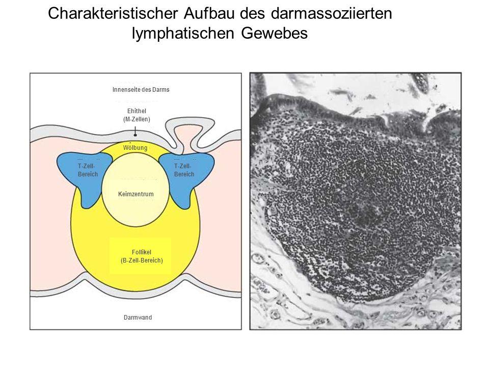Charakteristischer Aufbau des darmassoziierten lymphatischen Gewebes Innenseite des Darms Ehithel (M-Zellen) Keimzentrum T-Zell- Bereich Follikel (B-Z