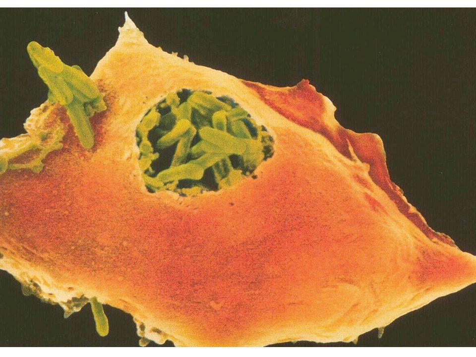 Alle zellulären Bestandteile des Blutes entstehend aus hämatopoetischen Stammzellen im Knochenmark Blut Lymphknoten Gewebe Effektorzellen B-ZelleT-Zelle Plasma zelle aktivierte T-Zelle MastzelleMakrophage unreife dendritische Zelle reife dendritische Zelle Blut- plättchen Erythrozyt Granulocyten (oder polymorphkernige Leukocyten) neutrophile Zelle eosinophile Zelle basophile Zelle unbekannte Vorläuferzelle Monozyt unreife dendritische Zelle