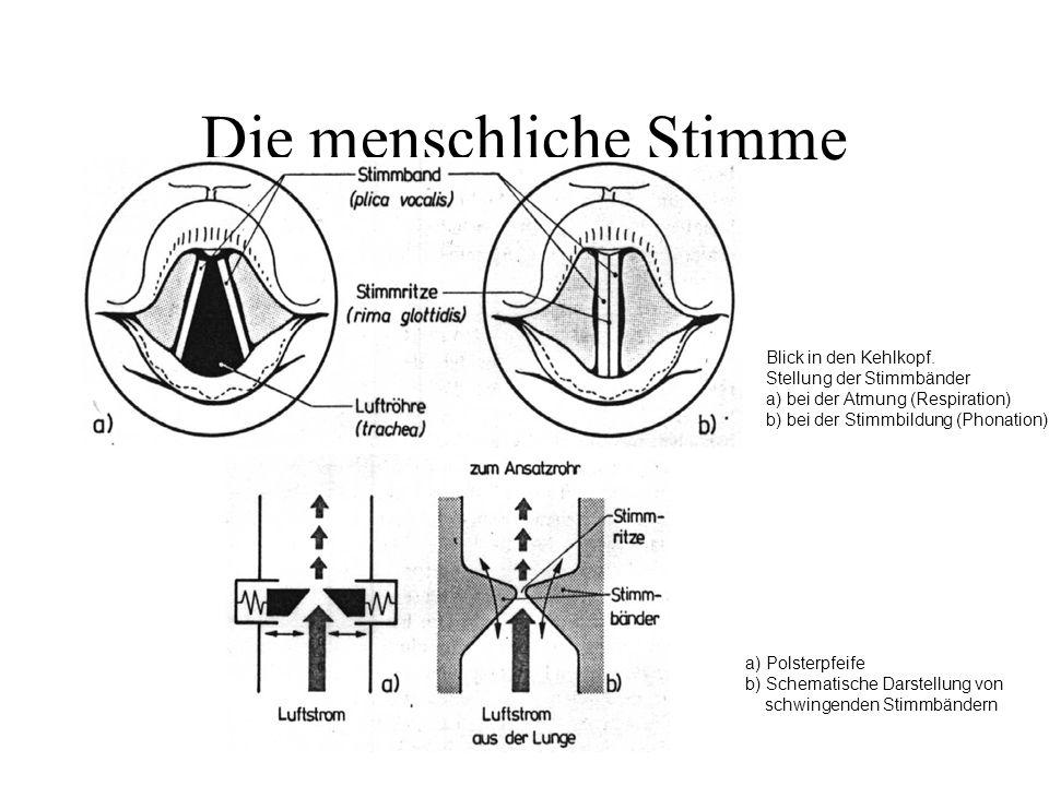 Die menschliche Stimme Blick in den Kehlkopf. Stellung der Stimmbänder a) bei der Atmung (Respiration) b) bei der Stimmbildung (Phonation) a) Polsterp