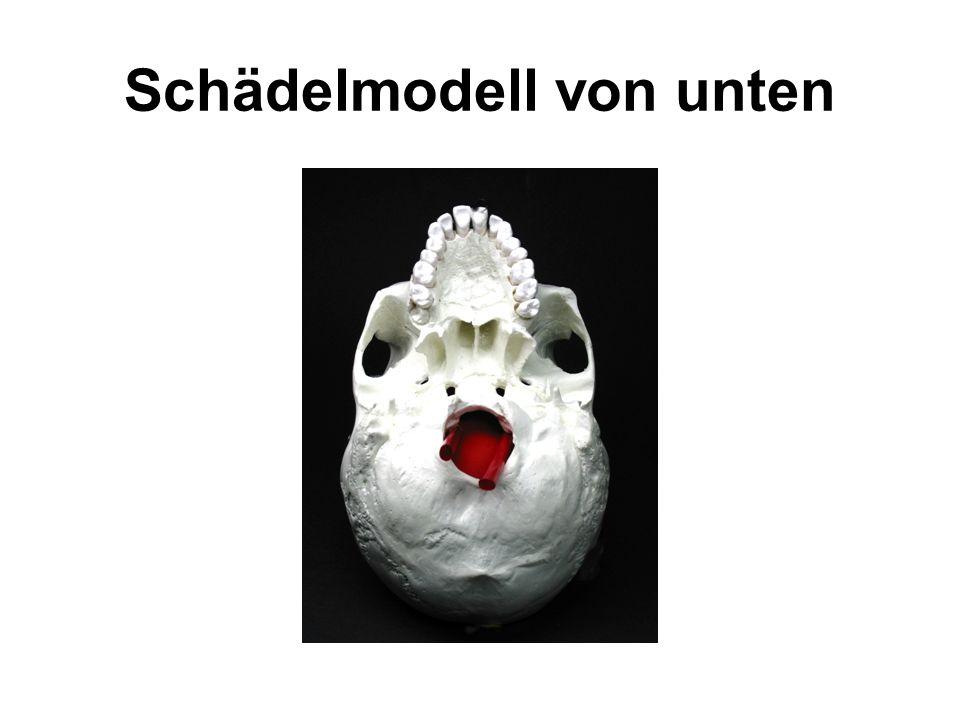 Schädelmodell von unten