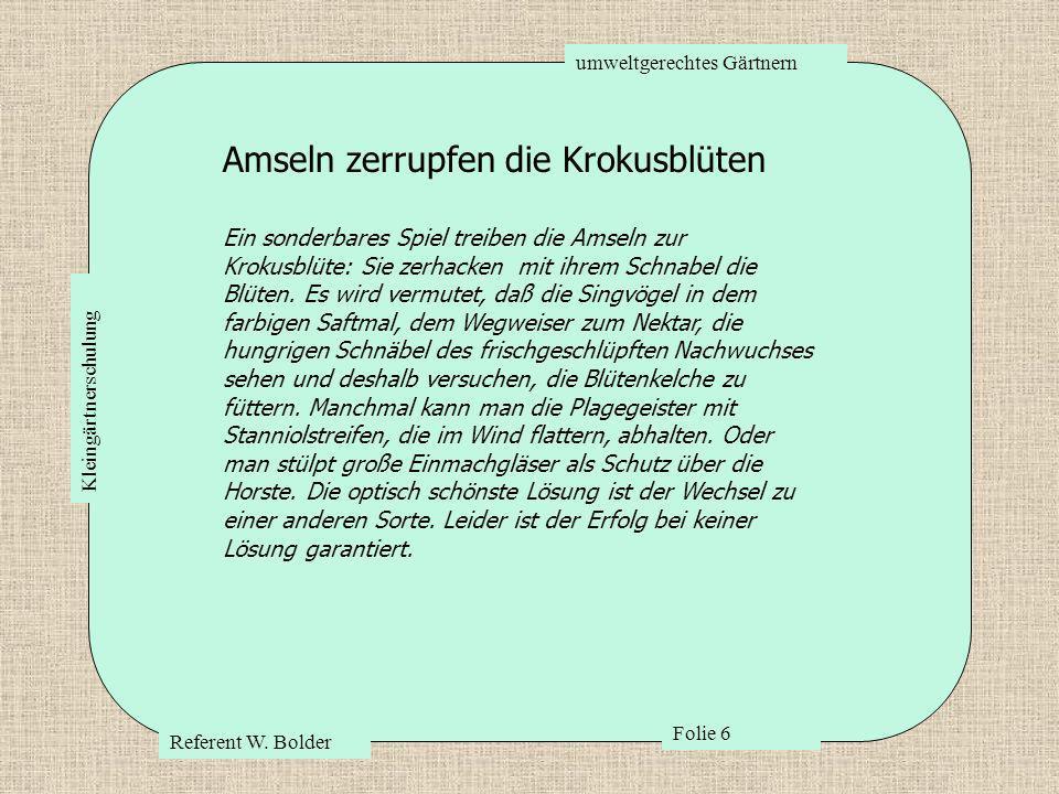 umweltgerechtes Gärtnern Referent W. Bolder Folie 6 Kleingärtnerschulung Amseln zerrupfen die Krokusblüten Ein sonderbares Spiel treiben die Amseln zu