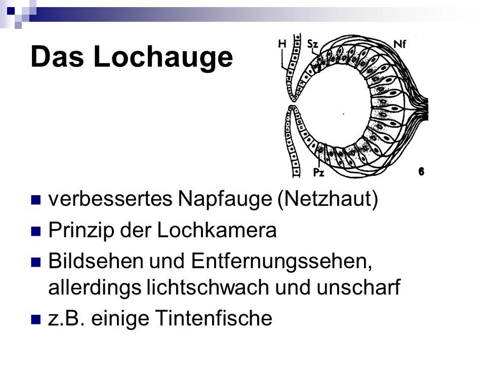 Das Blasenauge Augeninnenraum vollständig vom Außenmedium abgeschlossen (Hornhaut) mit lichtdurchlässigen Sekreten gefüllt (Linse ohne Akkommodation) evolutionäre Vorgänger des Auges der Wirbeltiere z.B.