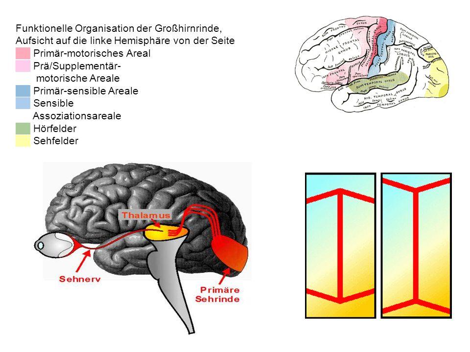 Funktionelle Organisation der Großhirnrinde, Aufsicht auf die linke Hemisphäre von der Seite Primär-motorisches Areal Prä/Supplementär- motorische Are