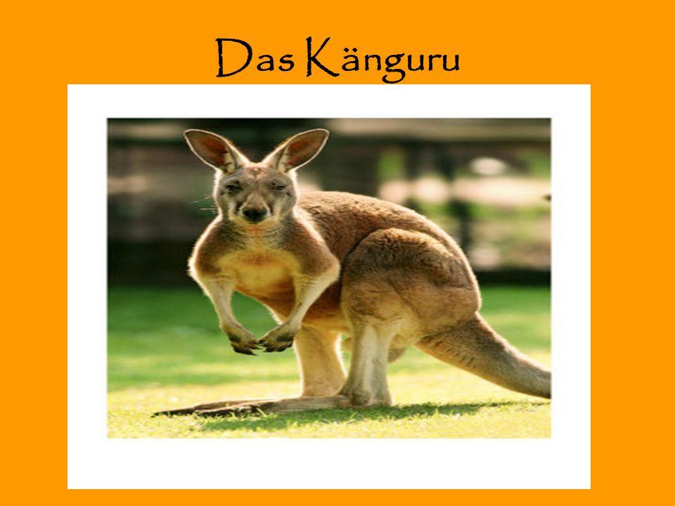 Das Känguru