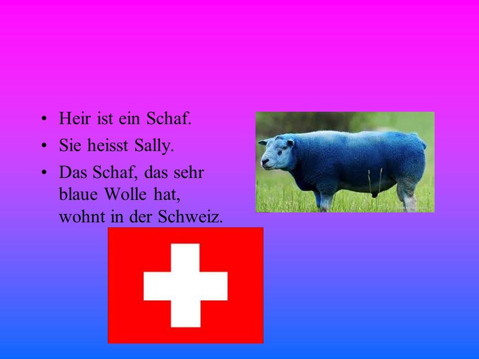 Heir ist ein Schaf. Sie heisst Sally. Das Schaf, das sehr blaue Wolle hat, wohnt in der Schweiz.