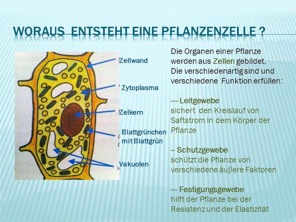 Zellwand Zytoplasma Zelkern Vakuolen Blattgrünchen mit Blattgrün Die Organen einer Pflanze werden aus Zellen gebildet, Die verschiedenartig sind und v