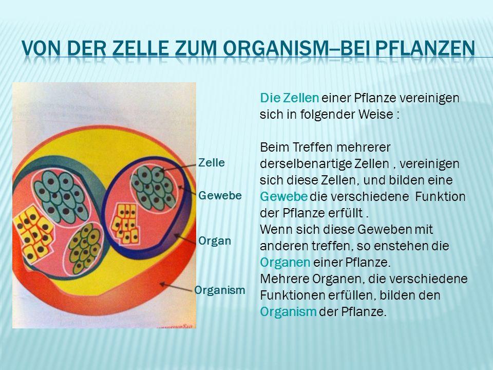 Zelle Gewebe Organ Organism Die Zellen einer Pflanze vereinigen sich in folgender Weise : Beim Treffen mehrerer derselbenartige Zellen, vereinigen sic