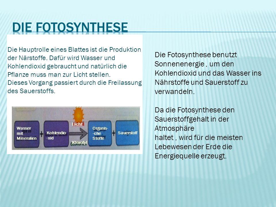 Wasser mit Mineralien Kohlendio- -xid Organis- -che Stoffe Sauerstoff Klorofyl Licht Die Hauptrolle eines Blattes ist die Produktion der Närstoffe. Da
